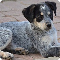 Adopt A Pet :: Echo - Simi Valley, CA