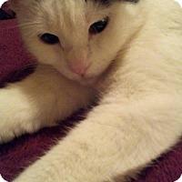 Adopt A Pet :: Lacey - Cincinnati, OH