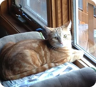 Domestic Shorthair Cat for adoption in Fowlerville, Michigan - Cheddar