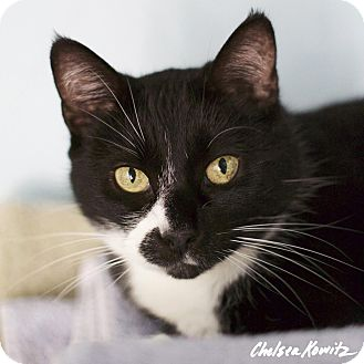 Domestic Shorthair Cat for adoption in Los Angeles, California - Julia