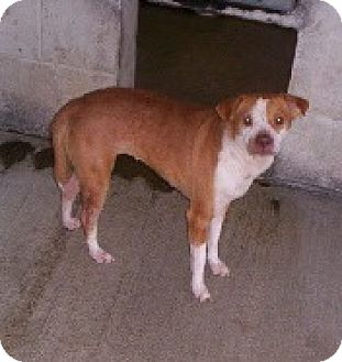 Chihuahua/Beagle Mix Dog for adoption in Aurora, Illinois - Penelope