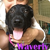 Labrador Retriever Mix Dog for adoption in Orangeburg, South Carolina - Waverly