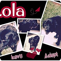 Cocker Spaniel Mix Dog for adoption in Dawson, Georgia - Lola
