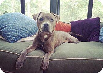 American Bulldog/Staffordshire Bull Terrier Mix Dog for adoption in Jacksonville, North Carolina - Koolbe