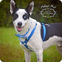 Husky/Border Collie Mix Dog for adoption in Fort Valley, Georgia - Felix