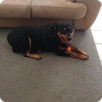 Rottweiler Dog for adoption in Gilbert, Arizona - Skye