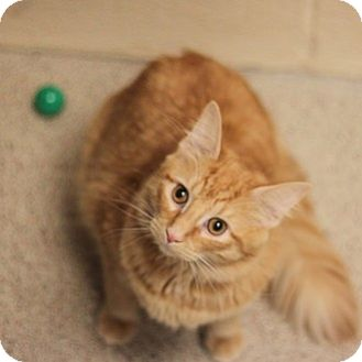 Domestic Mediumhair Cat for adoption in Naperville, Illinois - Dominic