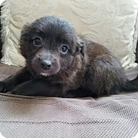 Terrier (Unknown Type, Small) Mix Puppy for adoption in Monrovia, California - Milo