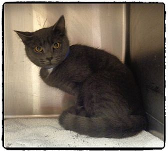 Domestic Shorthair Cat for adoption in Marietta, Georgia - AMORE (R)