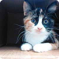 Domestic Shorthair Kitten for adoption in Cloquet, Minnesota - Soraya