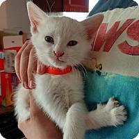 Adopt A Pet :: Indominus Rex - El Paso, TX