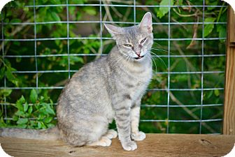 Domestic Shorthair Cat for adoption in San Antonio, Texas - Bridget
