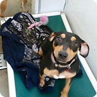 Adopt A Pet :: Mercedes - Chippewa Falls, WI