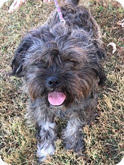 Shih Tzu/Lhasa Apso Mix Dog for adoption in Mount Airy, North Carolina - Toby