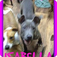 Adopt A Pet :: ISABELLA - Manchester, NH