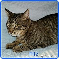 Adopt A Pet :: Fitz - Arlington/Ft Worth, TX