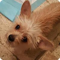 Adopt A Pet :: NOEL - Mesa, AZ