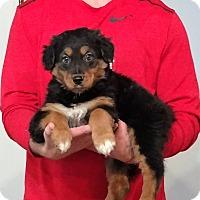 Adopt A Pet :: Buddy - Gahanna, OH