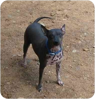 American Hairless Terrier Dog for adoption in Phoenix, Arizona - Jessica