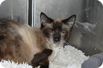 Siamese Cat for adoption in North Branford, Connecticut - Koko