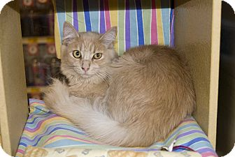 Domestic Longhair Cat for adoption in New Port Richey, Florida - Palmer
