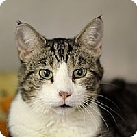 Adopt A Pet :: Tessy Tesla - Chicago, IL