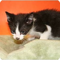 Adopt A Pet :: JUNIPER - SILVER SPRING, MD
