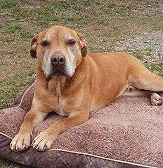Pit Bull Terrier Mix Dog for adoption in Midlothian, Virginia - Diesel (SENIOR)