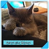 Adopt A Pet :: Aaron aka Gibson - Hamilton, NJ