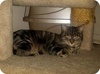 Domestic Shorthair Cat for adoption in Brampton, Ontario - Afina