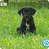 Adopt A Pet :: Ben - Kimberton, PA