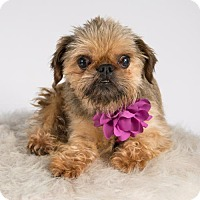 Brussels Griffon Dog for adoption in St. Louis Park, Minnesota - Prudence