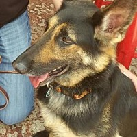 German Shepherd Dog Dog for adoption in Scottsdale, Arizona - Brooke