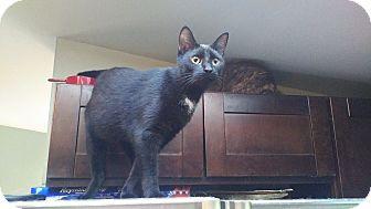 Bombay Cat for adoption in Exton, Pennsylvania - Midnight (Foster)