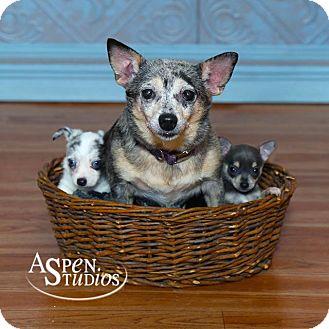 Dachshund/Chihuahua Mix Dog for adoption in Valparaiso, Indiana - Julia