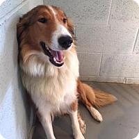 Adopt A Pet :: Cindy - Chantilly, VA