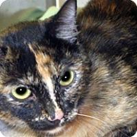 Domestic Shorthair Cat for adoption in Wildomar, California - Marla