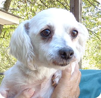 Maltese Dog for adoption in Crump, Tennessee - Mr. Martin