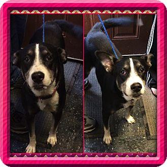 Border Collie/Terrier (Unknown Type, Medium) Mix Dog for adoption in Baltimore, Maryland - Peyton