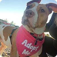 Pit Bull Terrier Mix Dog for adoption in Framingham, Massachusetts - Maya