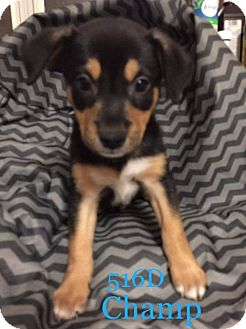 Basenji/Terrier (Unknown Type, Small) Mix Puppy for adoption in Spring, Texas - Champ