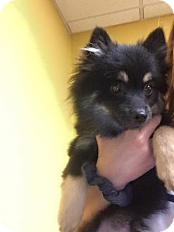 Pomeranian Puppy for adoption in Edmond, Oklahoma - Reese's