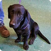 Adopt A Pet :: Murray-Pending - Montpelier, VT