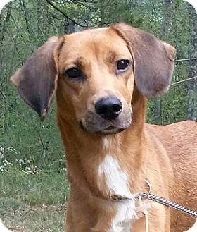 Redbone Coonhound/Beagle Mix Dog for adoption in Canterbury, Connecticut - Jackie