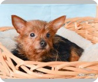 Yorkie, Yorkshire Terrier Mix Dog for adoption in Pittsboro, North Carolina - Teddy