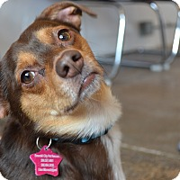 Adopt A Pet :: Georgie - Seattle, WA