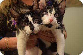 Domestic Shorthair Kitten for adoption in Huntington, New York - Kennedy & Reagan