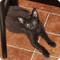 Domestic Shorthair Cat for adoption in Hopkinsville, Kentucky - Melissa