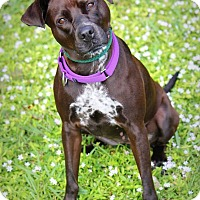 Lakeland Terrier/German Shorthaired Pointer Mix Dog for adoption in Ft. Lauderdale, Florida - Freeda
