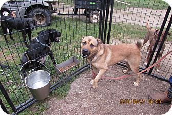 Boxer/Shepherd (Unknown Type) Mix Dog for adoption in Walthill, Nebraska - Rocky